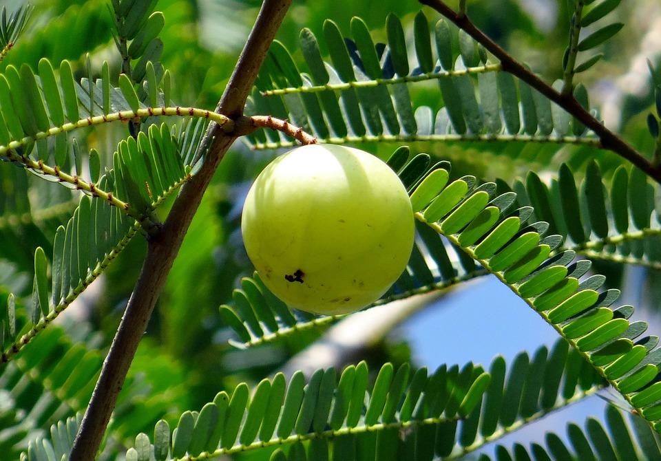 indische stachelbeere hängt an einem Baum, himmelsblau scheint durch die Zweige