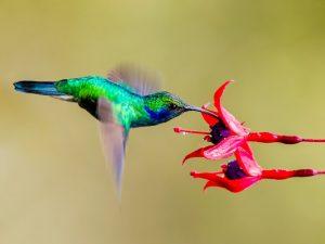 Kolibri saugt den Nektar aus einer pinken Blüte